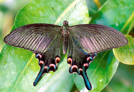 im wasserpflanzenhaus im botanischen garten k nnen sie frei fliegen tropische schmetterlinge. Black Bedroom Furniture Sets. Home Design Ideas
