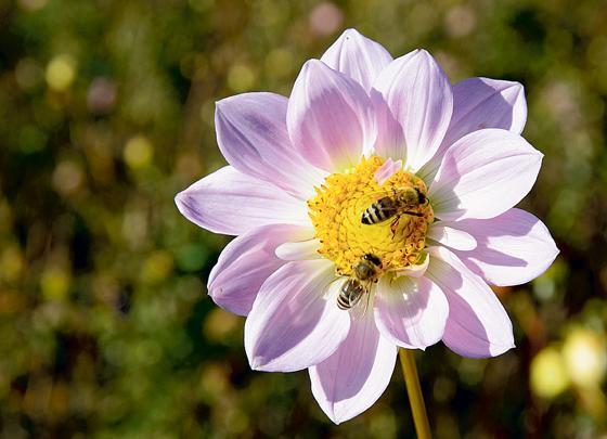 Lieblings Blumenwiese und Samen für mehr Insektenvielfalt - Damit Kirchheim &ZY_35