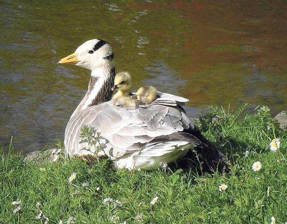 Fuhrungen Zu Gansen Und Vogeln Im Englischen Garten Naturschauspiel Der Besonderen Art